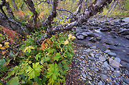 River stream or jokk, Abisko National Park, Norrbotten, Lapland, Sweden