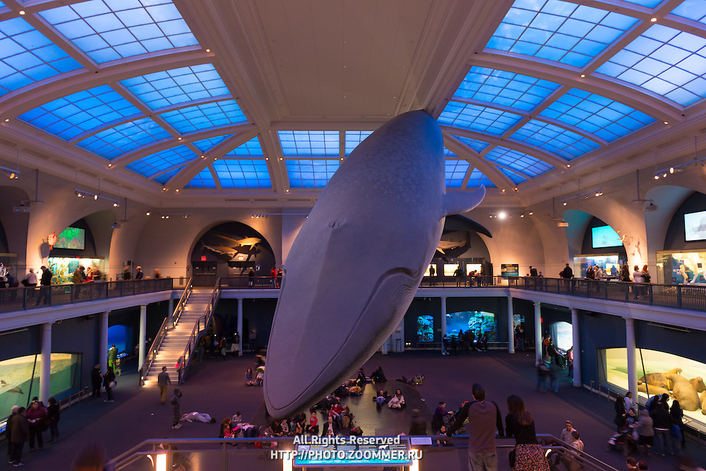 Blue Whale display in the Hall of Ocean Life, American Museum of Natural History, New York City