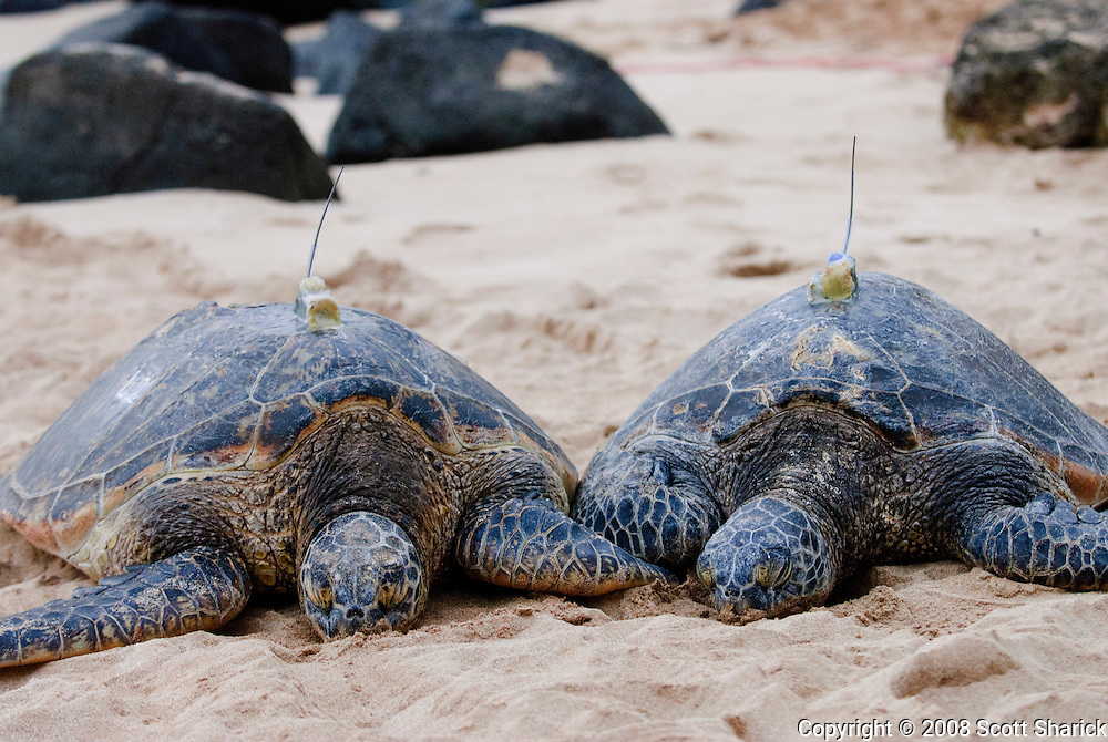 Two Hawaiian Green Sea Turtles (Honu) with electronic transmitters glued to their backs.