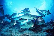 giant bumphead parrotfish, Bolbometopon muricatum, and bluefin trevally (jack), Caranx melampygus, Sipadan Island, Sabah, Borneo, Malaysia ( Celebes Sea, Western Pacific Ocean )