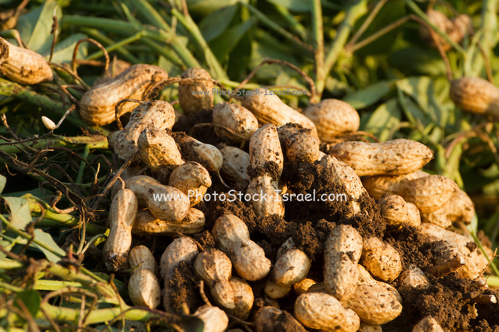 Peanuts growing in a field. Photographed in Israel
