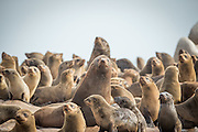 Colony of Cape Fur Seals, Mowe Bay, Skeleton Coast, Northern Namibia, Southern Africa