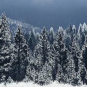Engelmann spruce forest covered with hoarfrost. Yellowstone National Park, Wyoming