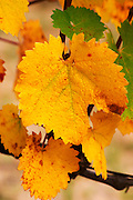 A Mourvedre leaf on a vine. Yellow autumn colours.  Domaine la Monardiere Monardière, Vacqueyras, Vaucluse, Provence, France, Europe