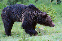 Eurasian brown bear, Ursus arctos, near Deven, Western Rhodope mountains, Bulgaria