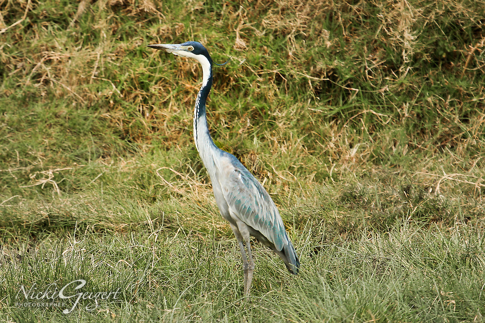 African Grey Heron hunting in the marshes of Africa. Nature photography wall art. Fine art photography prints.