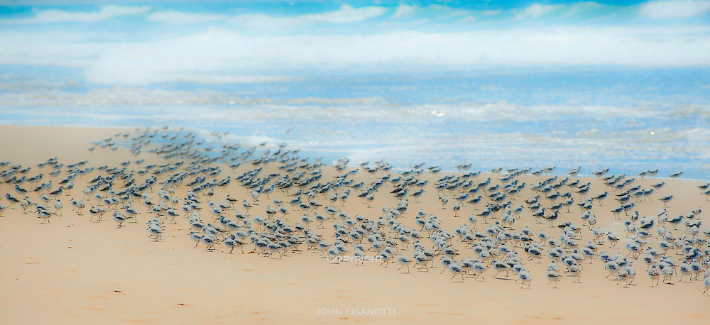 Plovers gather on the beach