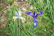 A blue and a white irises