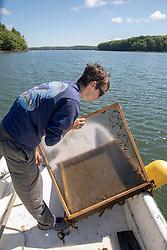 Colin Eimers Checking Oyster Tray, Sasanoa River