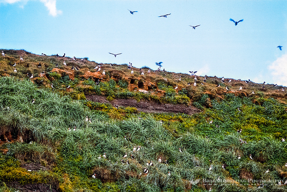 Iceland. Whale watching out of Húsavík. Lundey Island, nesting place for puffins and other seabirds.
