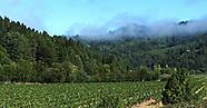 Vines ~ Sonoma AVA