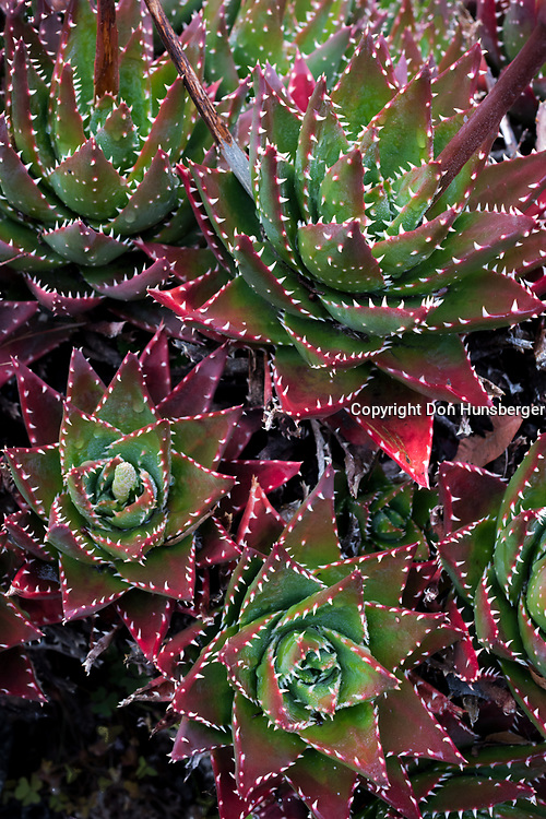 Succulents - Carmel Highlands