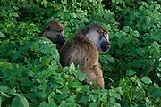Two yellow baboons, Papio hamadryas cynocephalus, grooming.