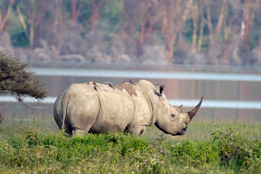 White Rhinoceroses (Ceratotherium simum) at Lake Nakuru NP, Kenya.