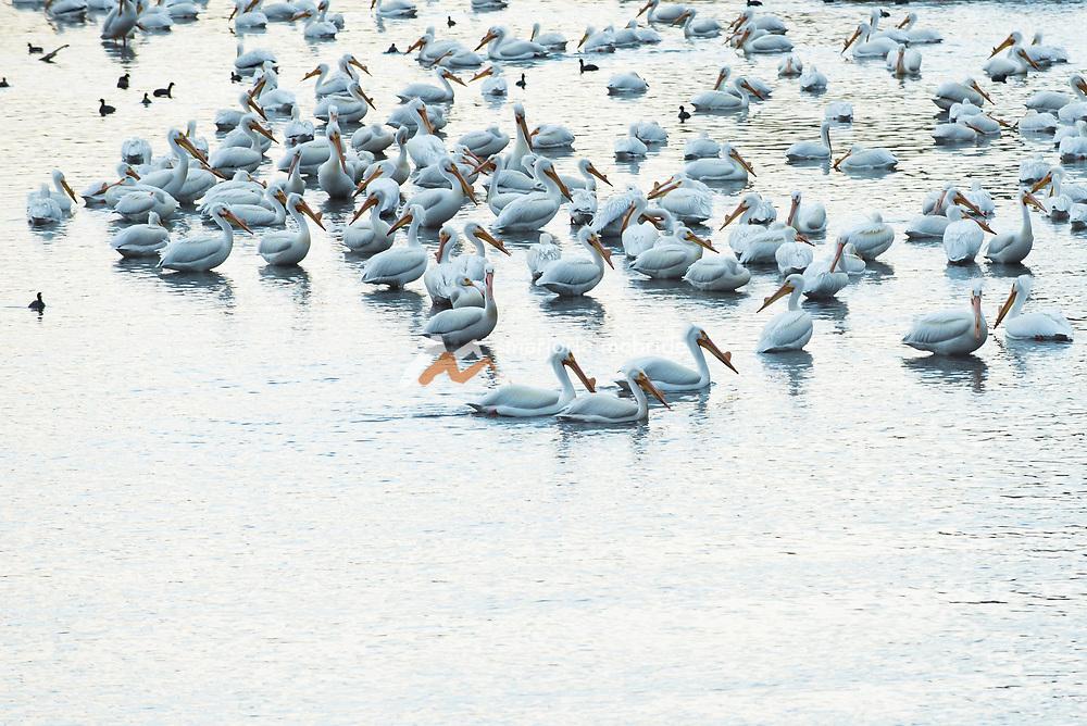 Pelicans, Snake River, Twin Falls, Idaho.