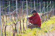 Man tying down the two remaining branches after winter pruning for a Guyot Double training. Château Barbanau and Clos Val-Bruyere Cassis Cote d'Azur Var France