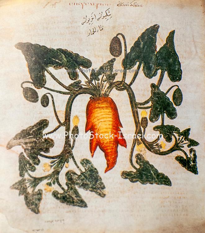 Hand drawn Ecballium elaterium (Squirting Cucumber) from a Byzantine manuscript Aniciae Julianae Codex ca. 512.
