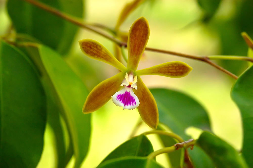 Butterfly orchid growing in a tree in Lee County, Fl. This is by far the most commonly encountered epiphytic orchid found in South Florida.