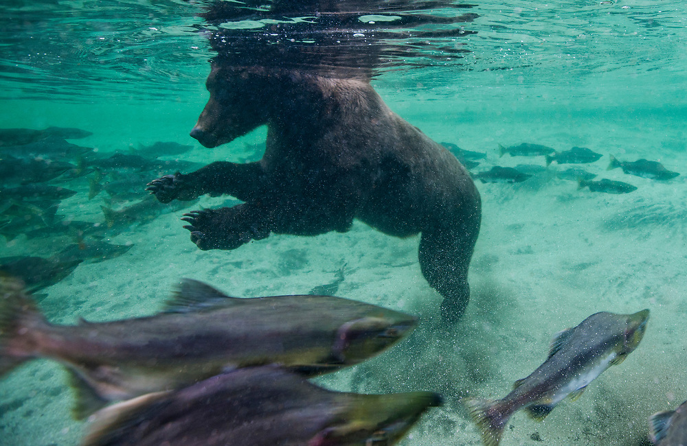 USA, Alaska, Katmai National Park, Underwater view of Grizzly Bear (Ursus arctos) swimming after spawning salmon in Kuliak Bay on summer evening