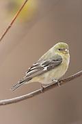 Female lesser goldfinch in winter plumage