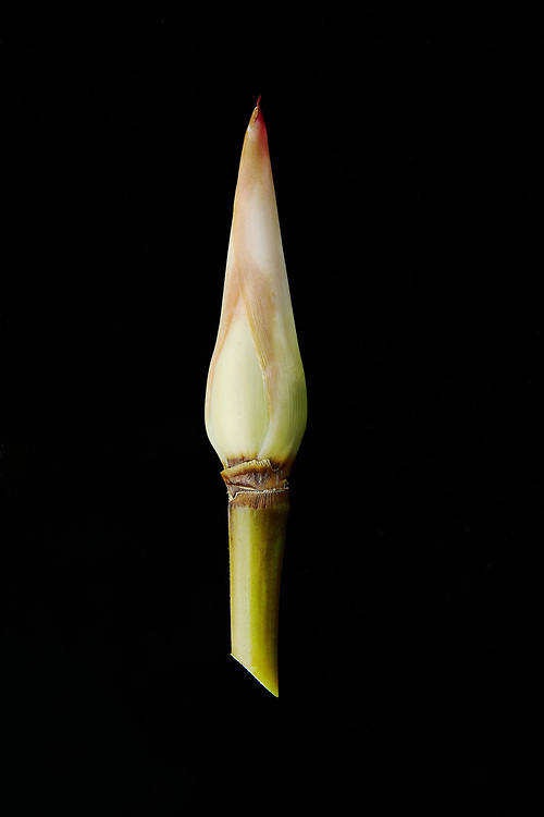 Ginger torch on a black backdrop