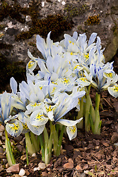 Iris 'Katharine Hodgkin' (Reticulata) AGM