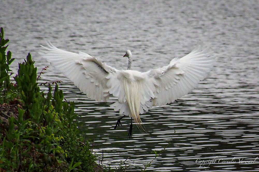 A Great Egret coming in for a landing at The Reservoir in Central Park