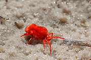 Red Spider Mite,Tetranchus Spp, on sand at Lagoon Camp, okavango