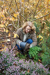 Planting a container grown fragrant shrub in a border. Sarcococca - Sweet box