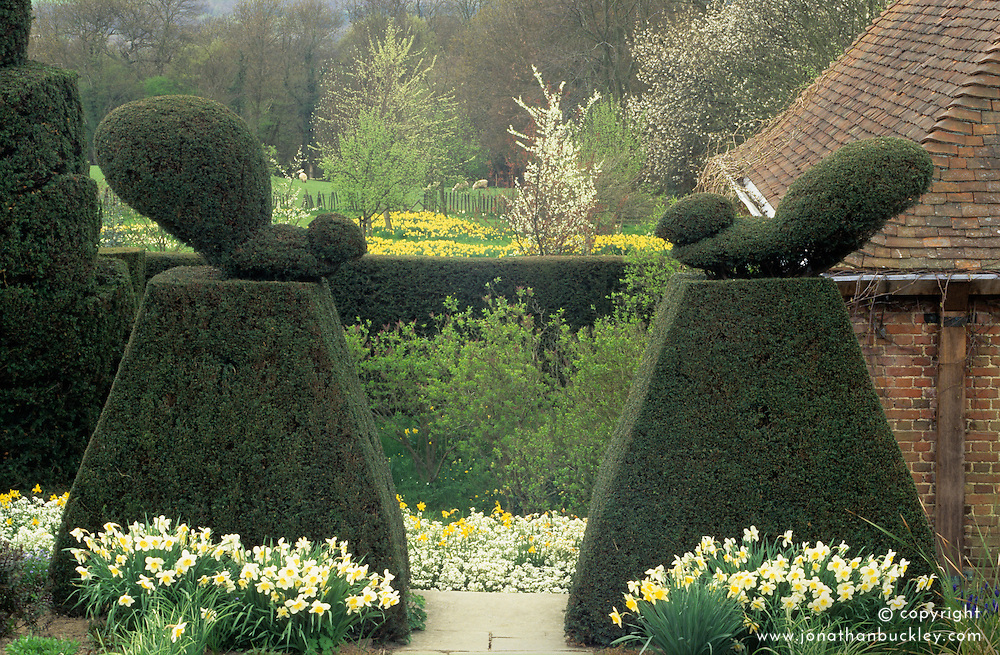 Peacock topiary at Great Dixter in Spring - Taxus baccata - yew