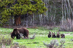 Grizzly Bear sow with quadruplets, Her name is 399.<br /> <br /> Contact for custom print options or inquiries about stock usage  - dh@theholepicture.com