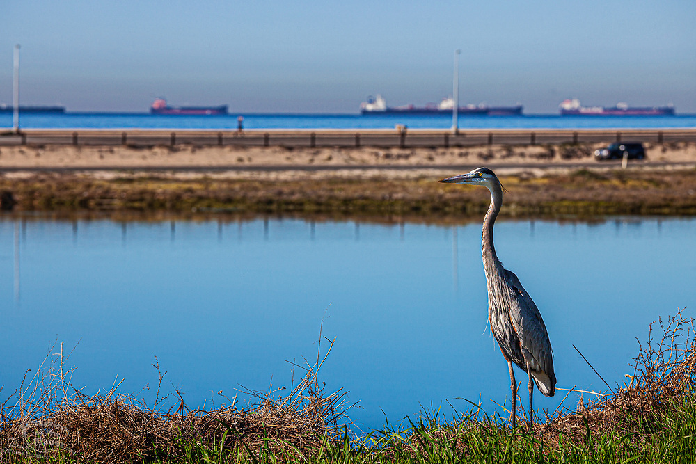 A Great Blue Heron stands in the Bolsa Chica Ecological Preserve with oil tankers sitting off the coast in the Catalina Channel