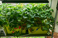 Hydroponic Tub 03-04. Strawberry Plants (85 days). Image taken with a Leica TL-2 camera and 35 mm f/1.4 lens (ISO 1000, 35 mm, f/8, 1/50 sec).