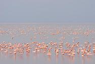 Zwergflamingo (Phoeniconaias minor) bei der Sowa Pfanne in Botswana. Flamingoes at Sowa pan in Botswana.