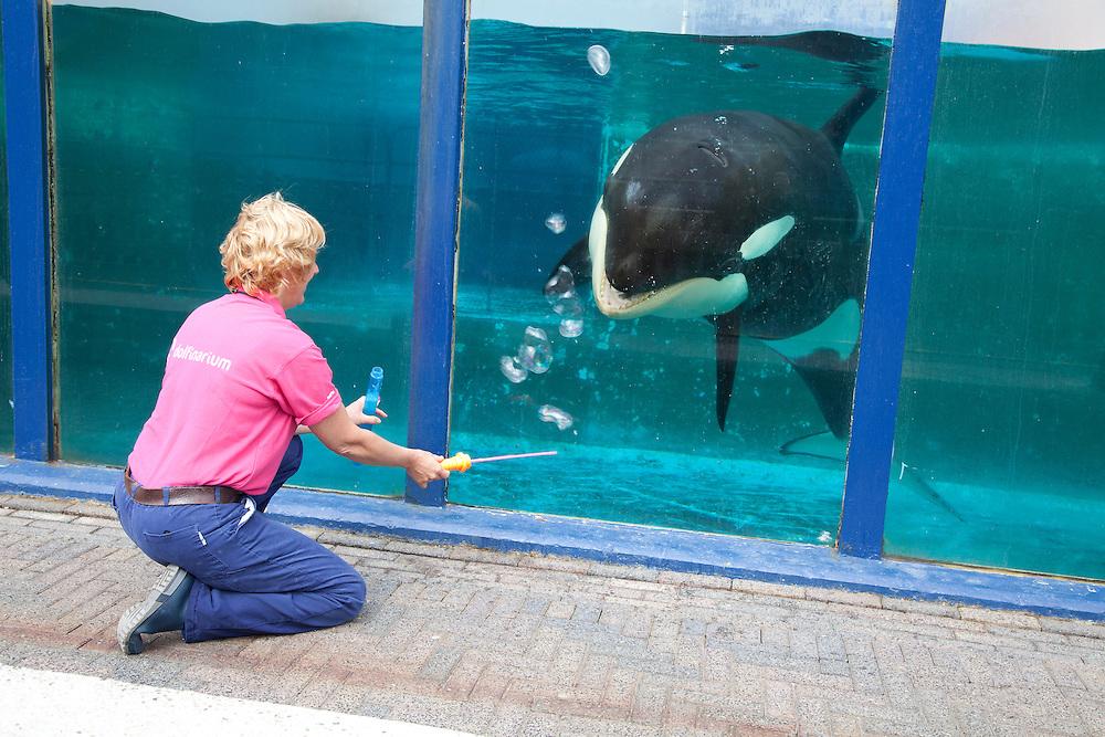 Nederland Harderwijk  09-08-11 Orka Morgan in het dolfinarium Harderwijk  Foto: Marco Hofste
