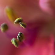 Macro floral image of a pink flower's anthers.