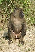Yellow baboon (Papio cynocephalus) Photographed in Uganda Queen Elizabeth National Park