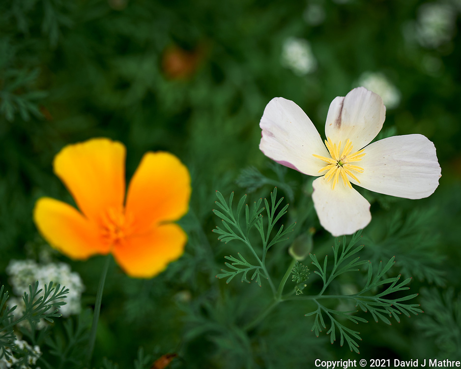California Poppy flower. Image taken with a Leica SL2 camera and 24-90 mm lens.