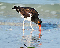 American Oystercatcher (Haematopus palliatus). Image taken with a Nikon D3s camera and 70-300 mm VR lens.
