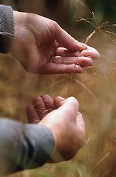 Harvesting seeds of Stipa arundinacea