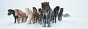 Icelandic horse in a snowstorm. <br /> www.gudmann.is