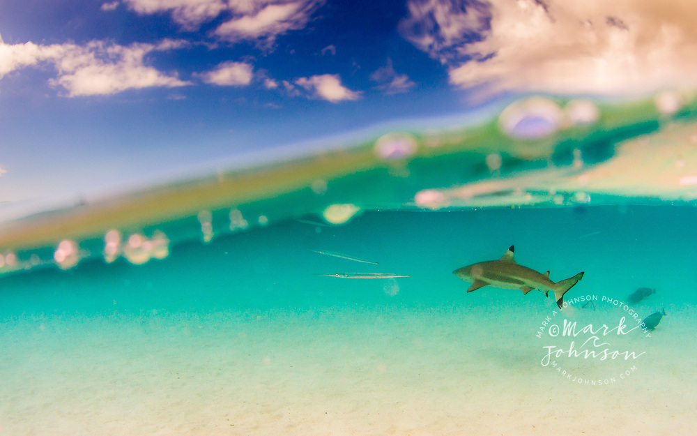 A split level view of a blacktip Reef Shark in the lagoon of Moorea, Windward Islands, French Polynesia