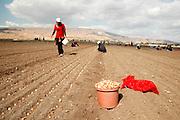 Israel, Jordan Valley, Kibbutz Ashdot Yaacov, planting an onion field