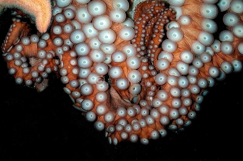 Suction cups of a big Octopus sp. Aquariumphoto.