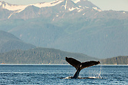 Humpback Whale (Megaptera novaeangliae) slapping tail in Saginaw Channel in Southeast Alaska. Summer. Evening.
