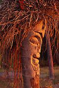 Coconut tree carved into tiki<br />