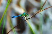 The brilliant green and blue male common green darner seen here in the CREW Marsh Hiking Trails. These are very common in South Florida wetlands.