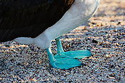 The blue feet of a blue-footed booby (Sula nebouxii excise), North Seymour Island, Galapagos Islands, Ecuador