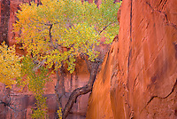 Cootnwood tree in Neon Canyon, Grand Staircase Escalante National Monument Utah