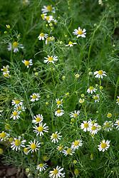Chamaemelum nobile - English or Garden Chamomile